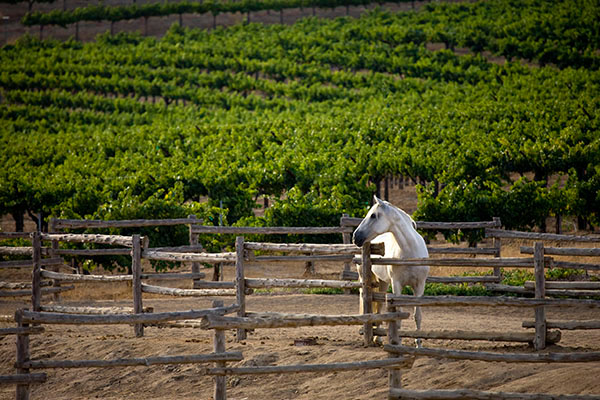Horse in Wine Country